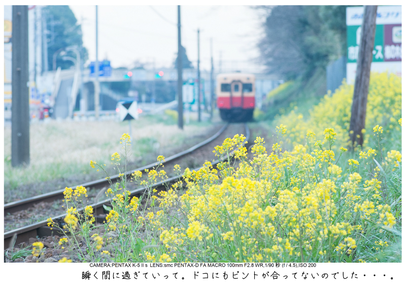 小湊鉄道_菜の花写真13.jpg
