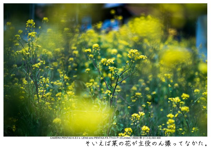 小湊鉄道_菜の花画像13.jpg