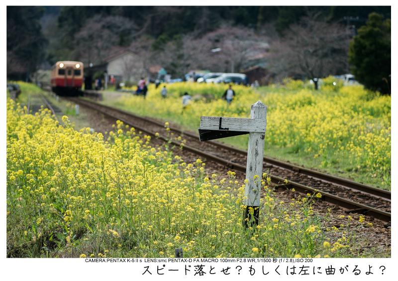 小湊鉄道_菜の花画像21.jpg