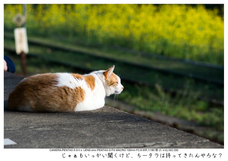 小湊鉄道_菜の花画像55.jpg