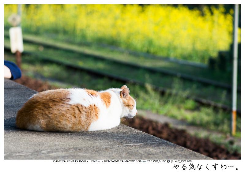 小湊鉄道_菜の花画像56.jpg