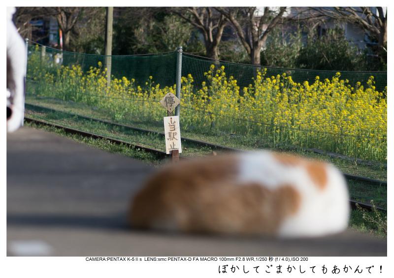小湊鉄道_菜の花画像57.jpg
