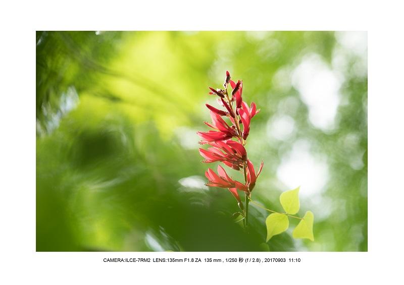 彼岸花見頃の大阪長居植物園6.jpg