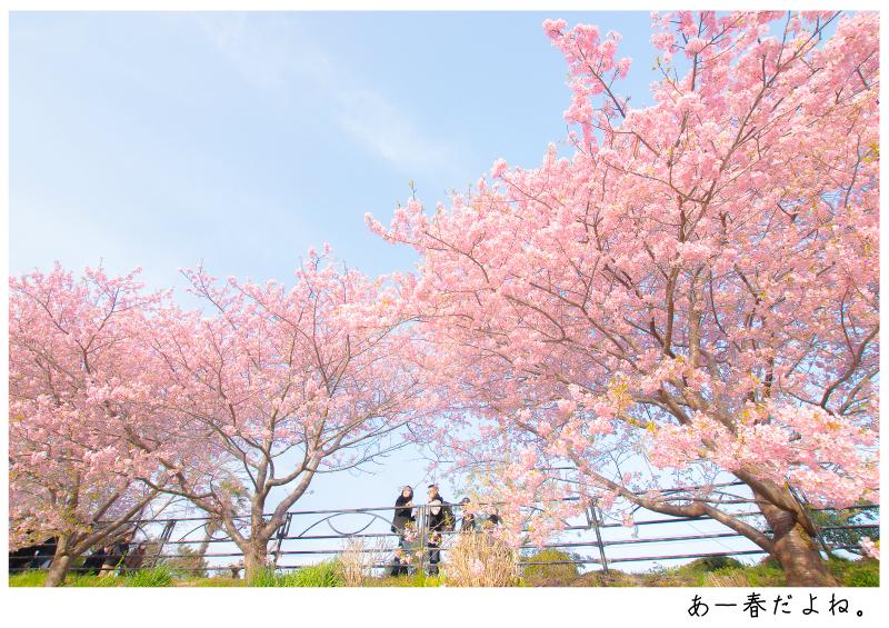 河津町の河津桜10.jpg