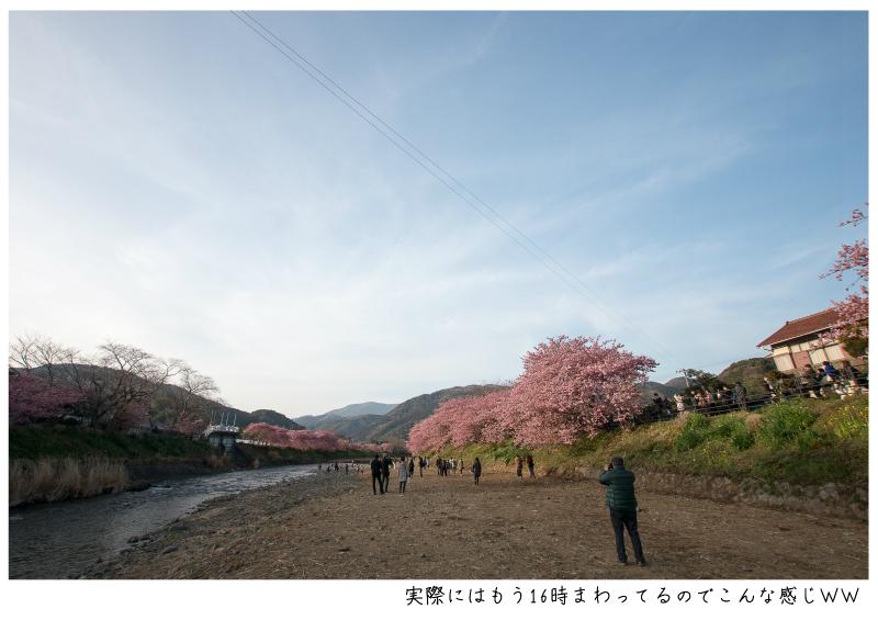 河津町の河津桜11.jpg