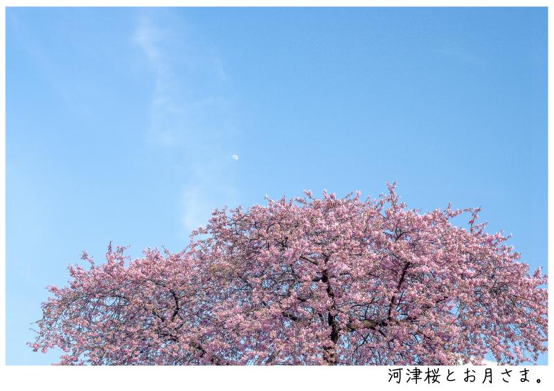 河津町の河津桜13.jpg