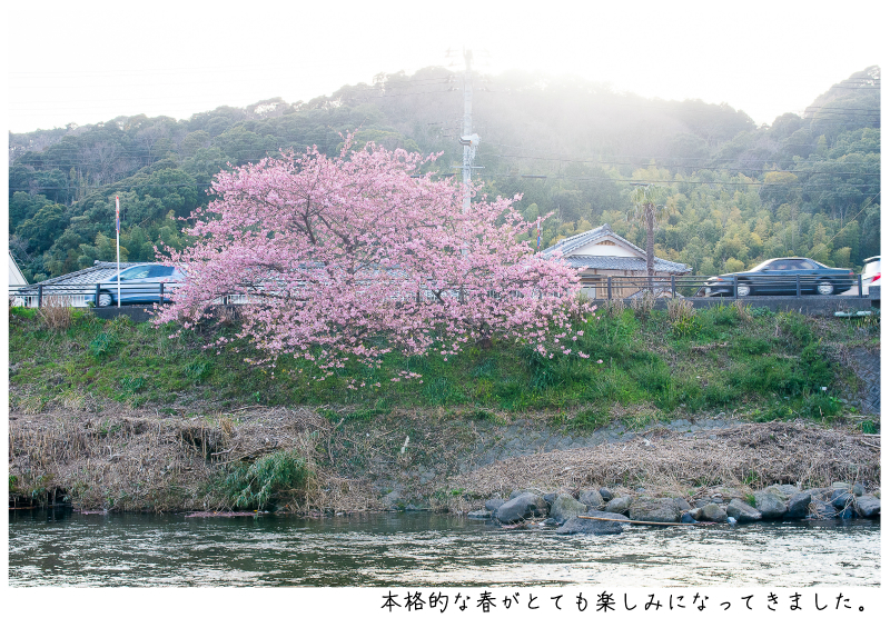 河津町の河津桜14.jpg