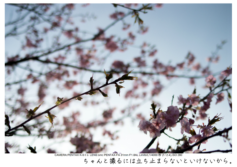 河津町の河津桜17.jpg