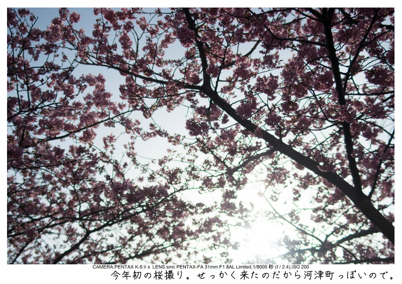 河津町の河津桜2.jpg