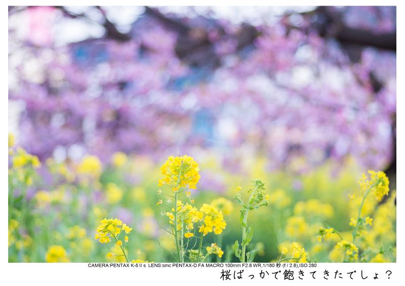 河津町の河津桜20.jpg