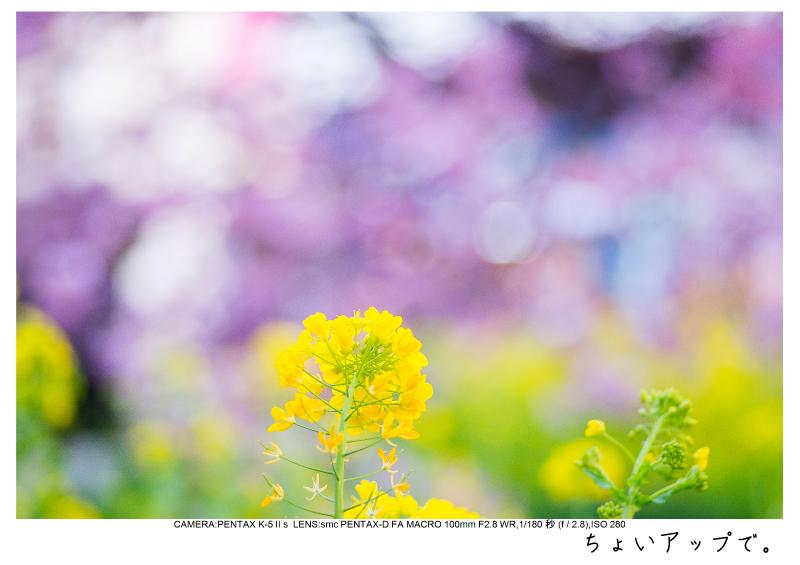 河津町の河津桜21.jpg