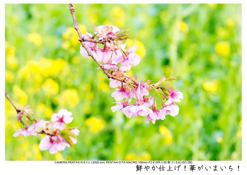 河津町の河津桜22.jpg