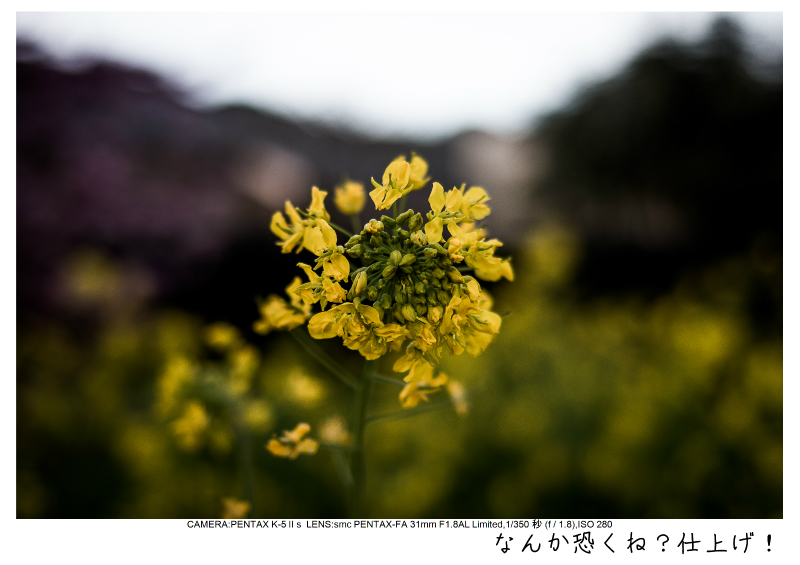 河津町の河津桜23.jpg
