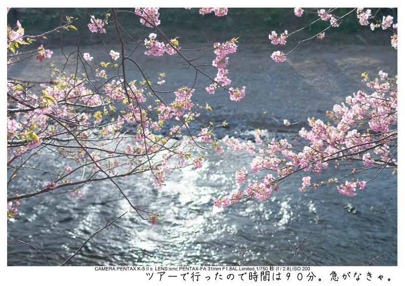 河津町の河津桜3.jpg