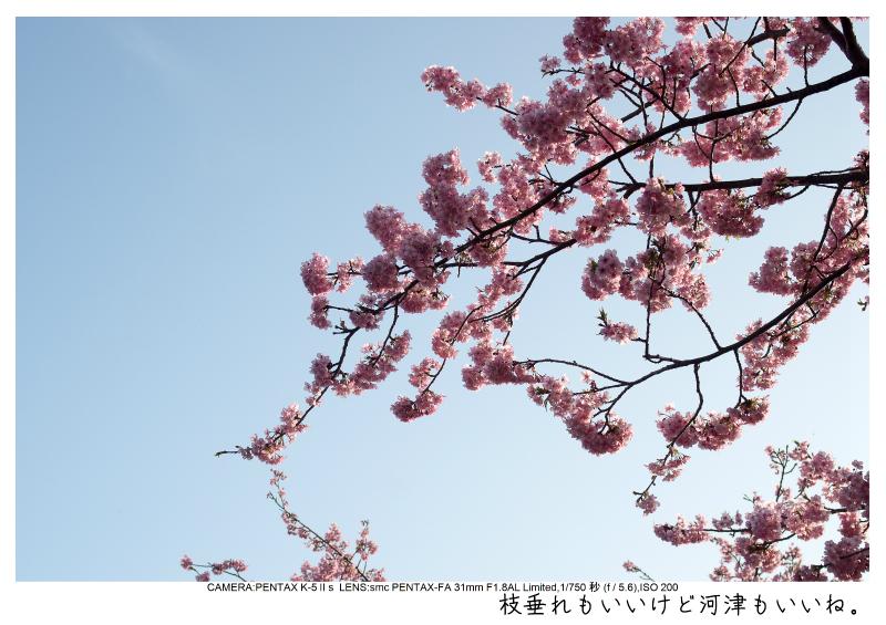 河津町の河津桜4.jpg