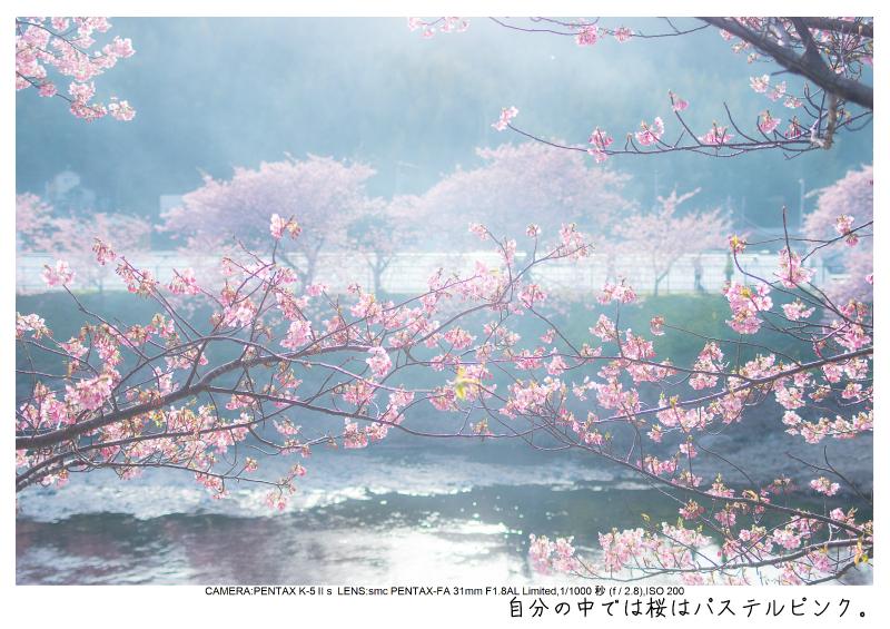 河津町の河津桜6.jpg