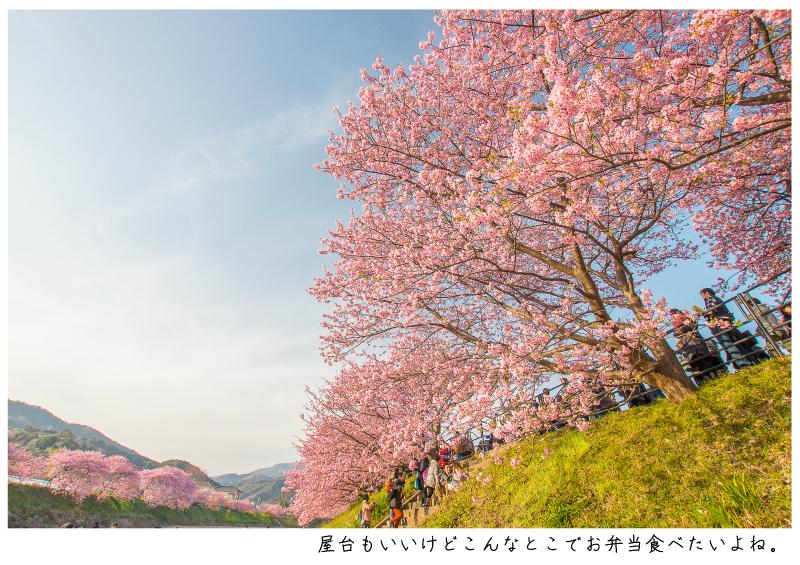 河津町の河津桜7.jpg