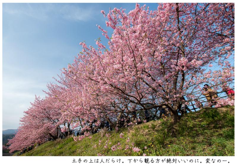河津町の河津桜8.jpg