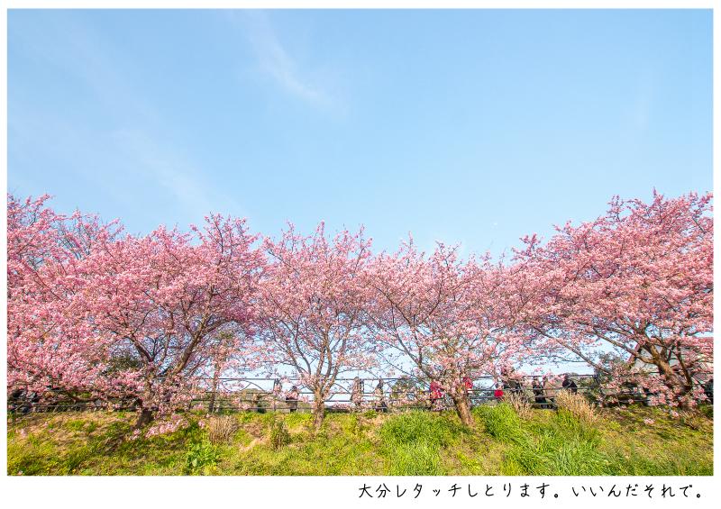 河津町の河津桜9.jpg