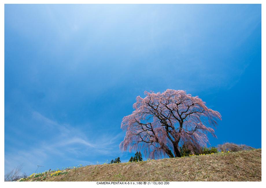 福島桜23芹ヶ沢桜.jpg
