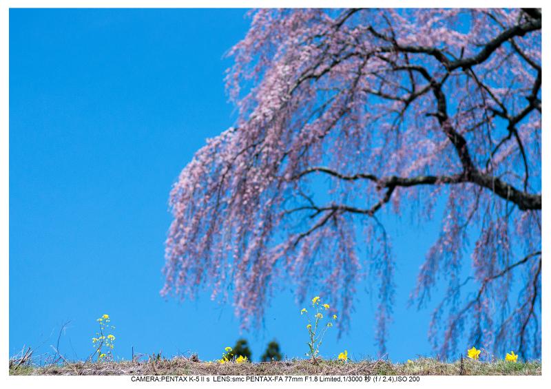 福島桜27芹ヶ沢桜.jpg