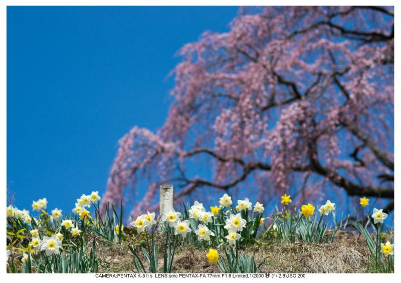 福島桜28芹ヶ沢桜.jpg