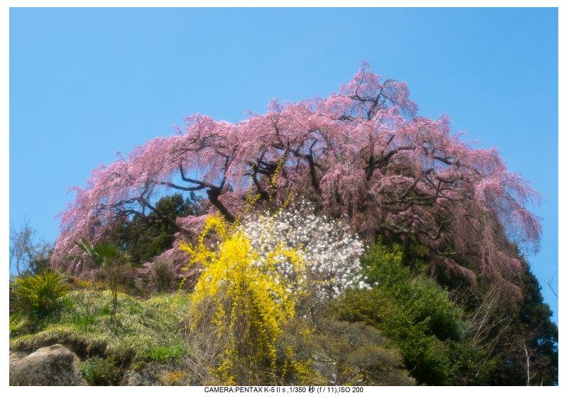 福島桜29仲森のしだれ桜.jpg