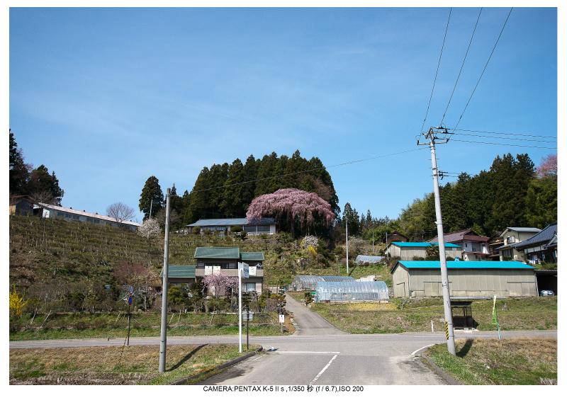 福島桜33仲森のしだれ桜.jpg