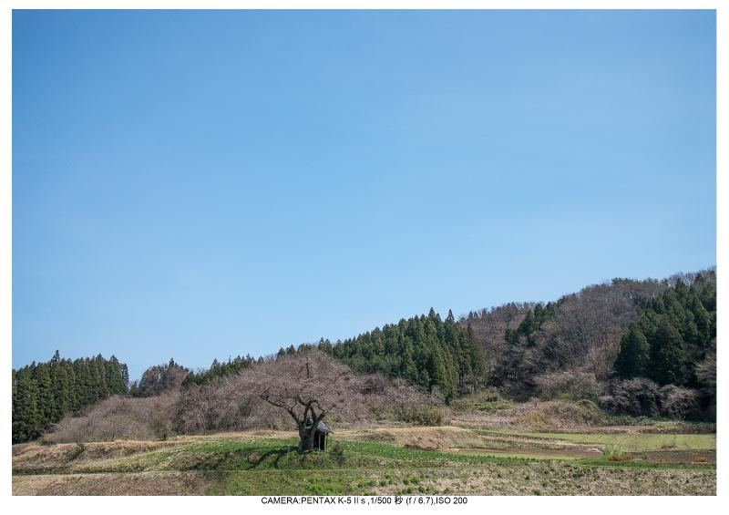 福島桜34小沢の桜.jpg
