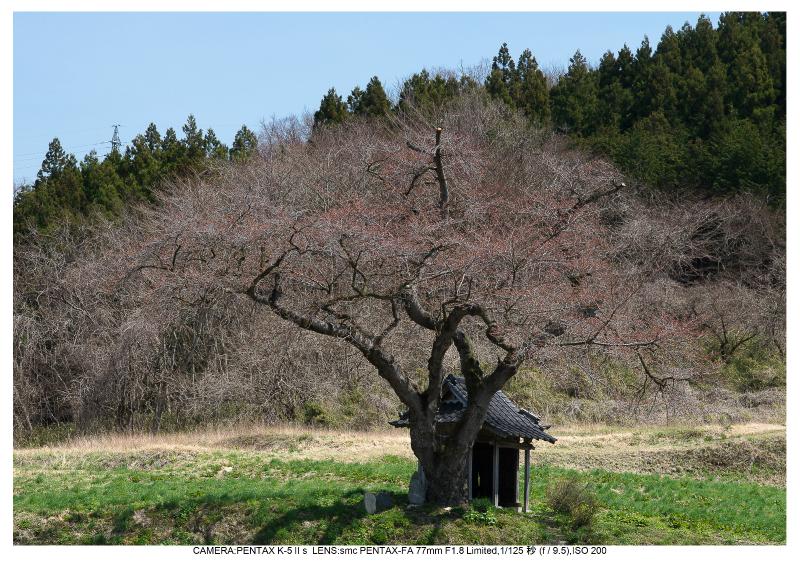 福島桜35小沢の桜.jpg