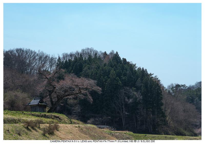 福島桜36小沢の桜.jpg