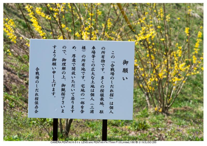 福島桜38合戦場のしだれ桜.jpg