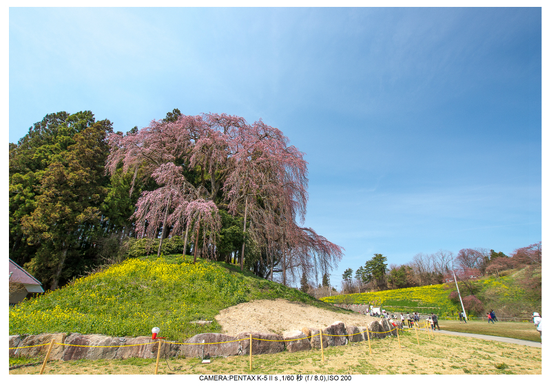 福島桜39合戦場のしだれ桜.jpg