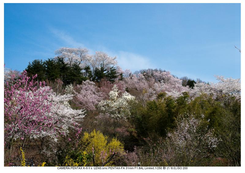 福島桜44花見山公園.jpg