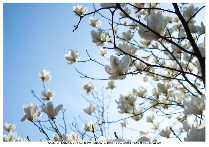 福島桜45花見山公園.jpg