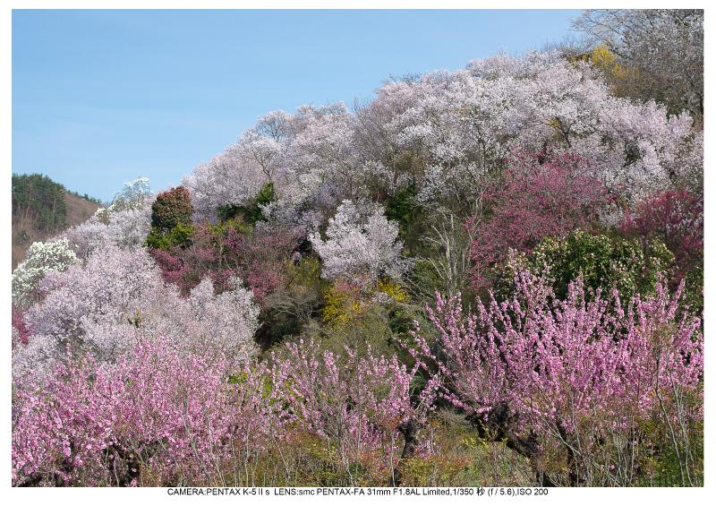 福島桜48花見山公園.jpg