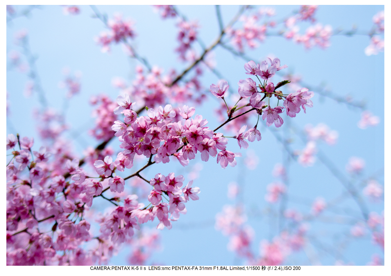福島桜51花見山公園.jpg