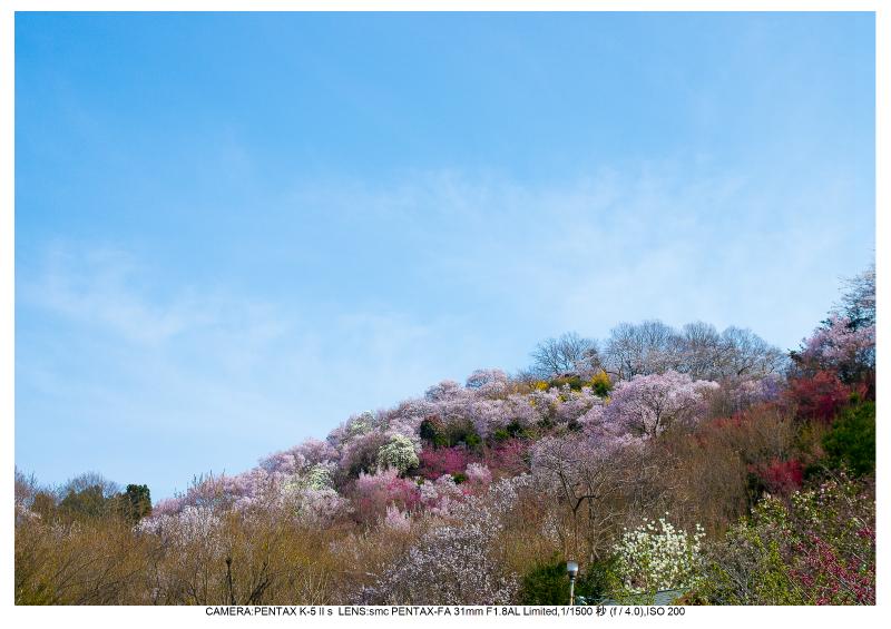 福島桜52花見山公園.jpg