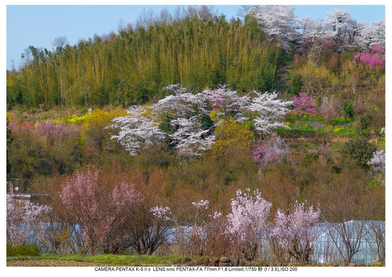 福島桜54花見山公園.jpg