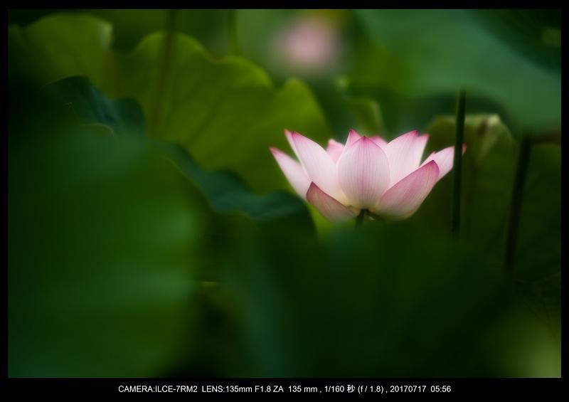 絶景・奈良の藤原宮跡の蓮ハス見ごろ見頃17.jpg