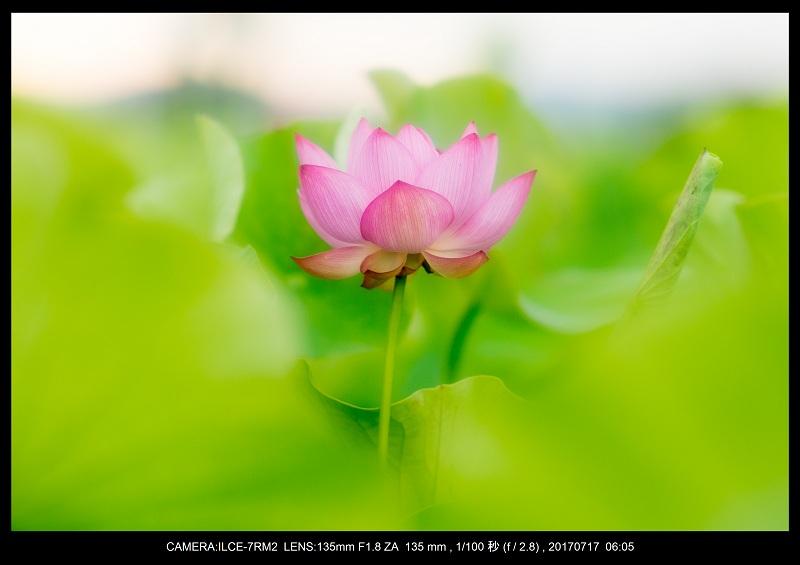 絶景・奈良の藤原宮跡の蓮ハス見ごろ見頃21.jpg