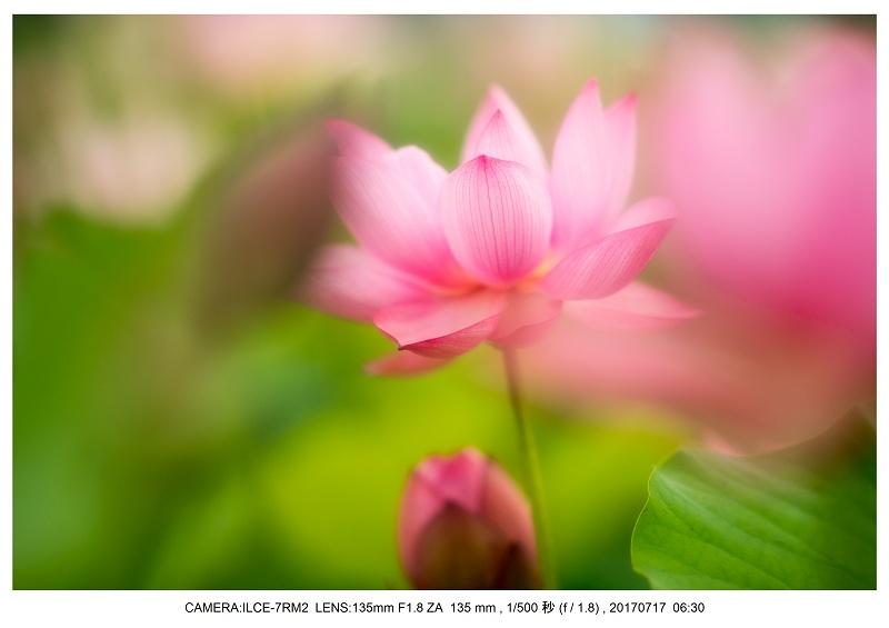 絶景・奈良の藤原宮跡の蓮ハス見ごろ見頃25.jpg