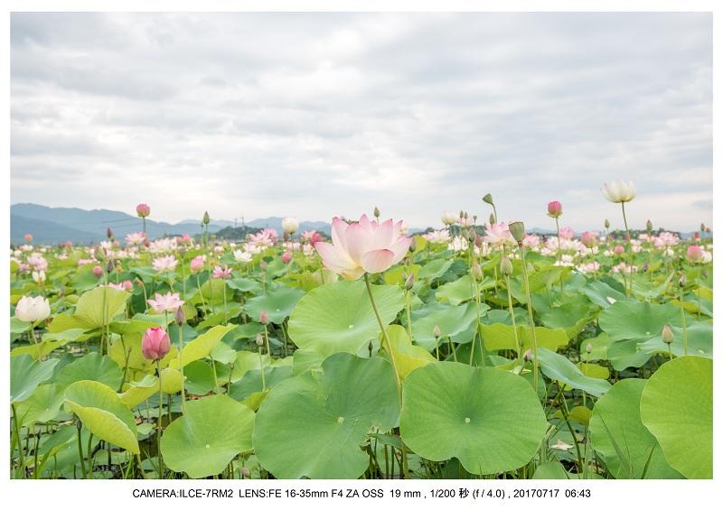絶景・奈良の藤原宮跡の蓮ハス見ごろ見頃31.jpg