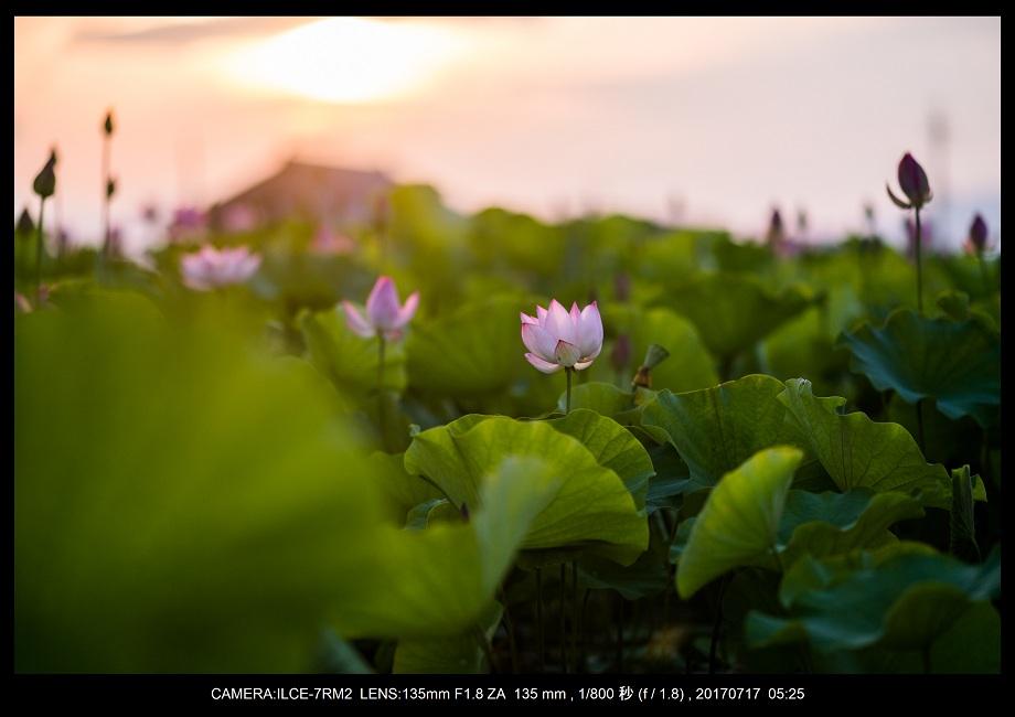 絶景・奈良の藤原宮跡の蓮ハス見ごろ見頃4.jpg