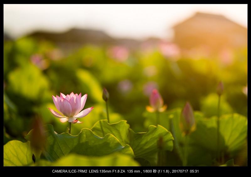 絶景・奈良の藤原宮跡の蓮ハス見ごろ見頃5.jpg