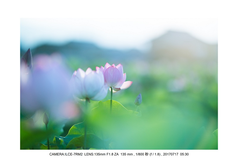 絶景・奈良の藤原宮跡の蓮ハス見ごろ見頃6-0.jpg