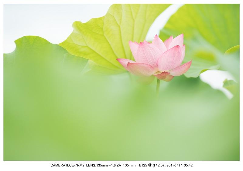 絶景・奈良の藤原宮跡の蓮ハス見ごろ見頃9.jpg