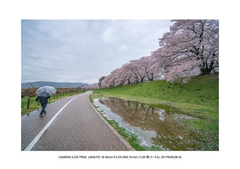 絶景京都・八幡市背割堤地区の桜さくら見頃1.jpg