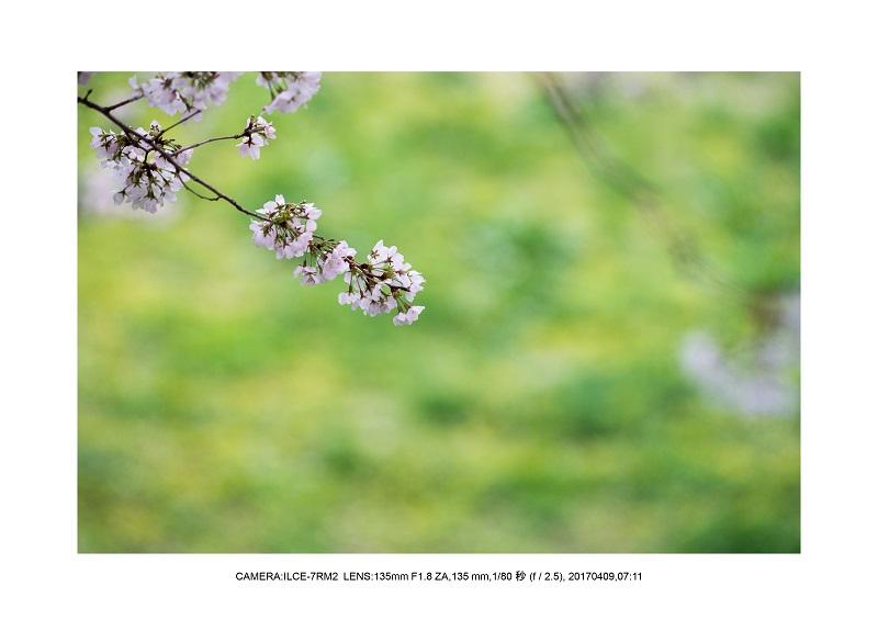 絶景京都・八幡市背割堤地区の桜さくら見頃10.jpg