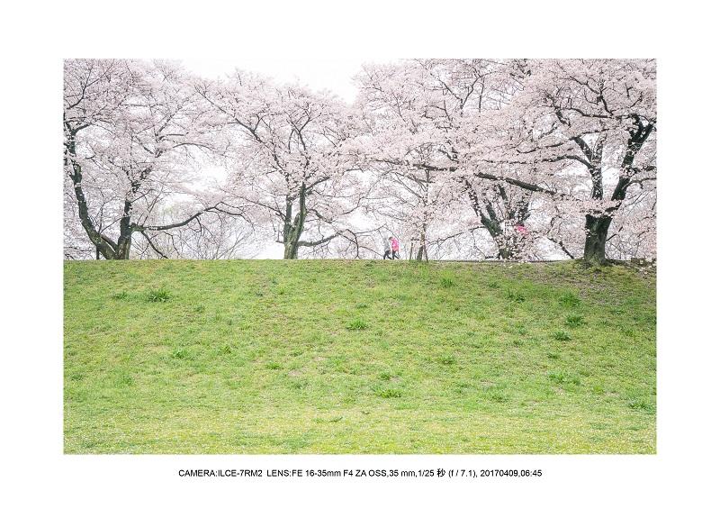 絶景京都・八幡市背割堤地区の桜さくら見頃2.jpg